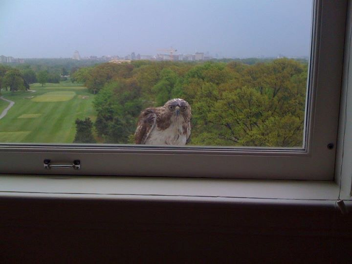 Intersting Visitor - Red Tail Hawk